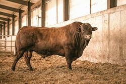 Salers Bull