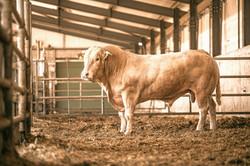 Blond d'Aquitaine Bull