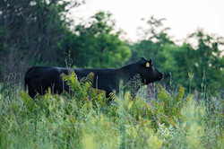 Aberdeen Angus In The Open