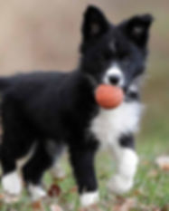 Border-Collie-Temperament-long.jpg