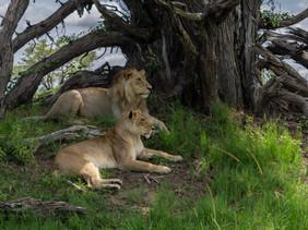 Bruder und Schwester Löwe