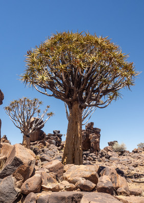 Köcherwald in Namibia