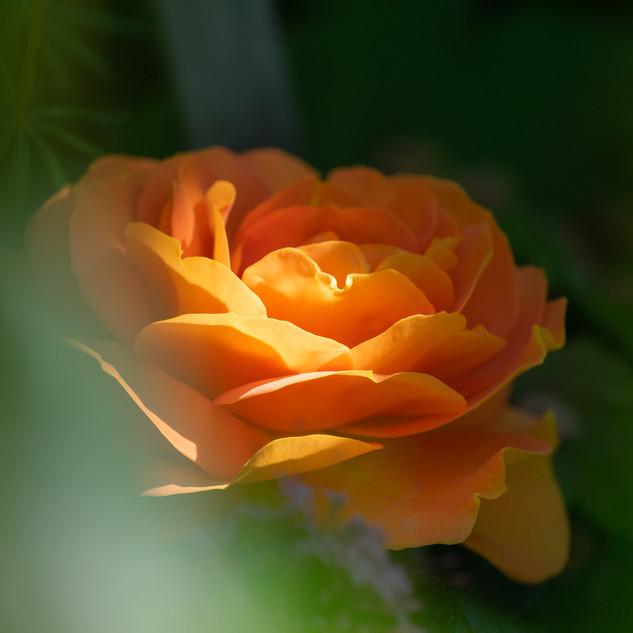 Rose im Sonnenlichschatten