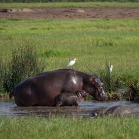 Nilpferd mit Lütten