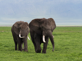 2 alte Elefanten im Ngorongoro