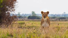 Löwin pirscht sich an
