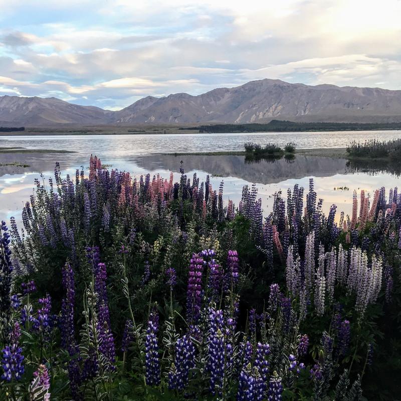 Lake Tekapo - Lupins by the Lake