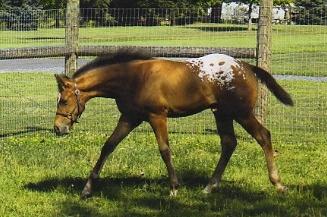 foal007