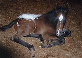 Diamond L Appaloosas Foals