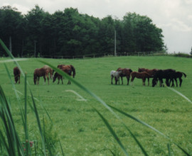 Mares and Foals Pasture Grazing