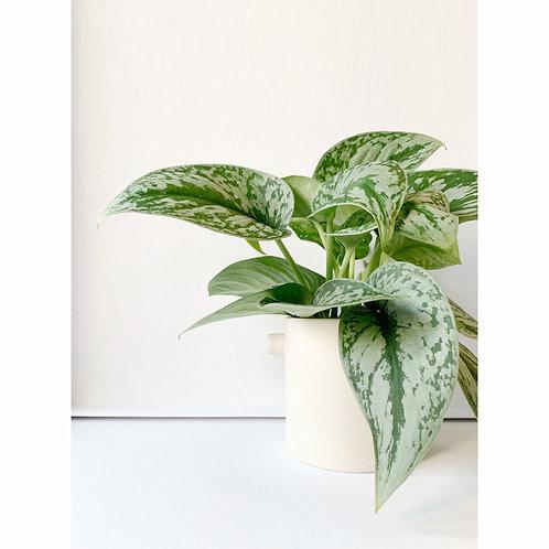 Epipremnum |Green plant & Handmade vase