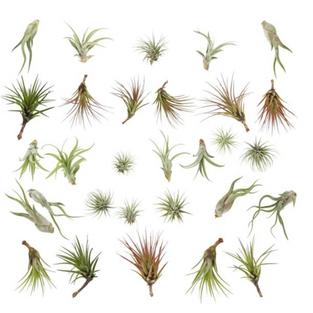 Tillandsia (Air Plants)