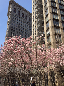 Cherry Blossom in New York