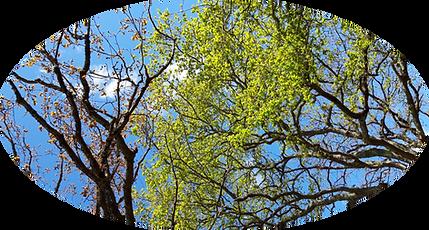 Ciel et arbres 365 2.png