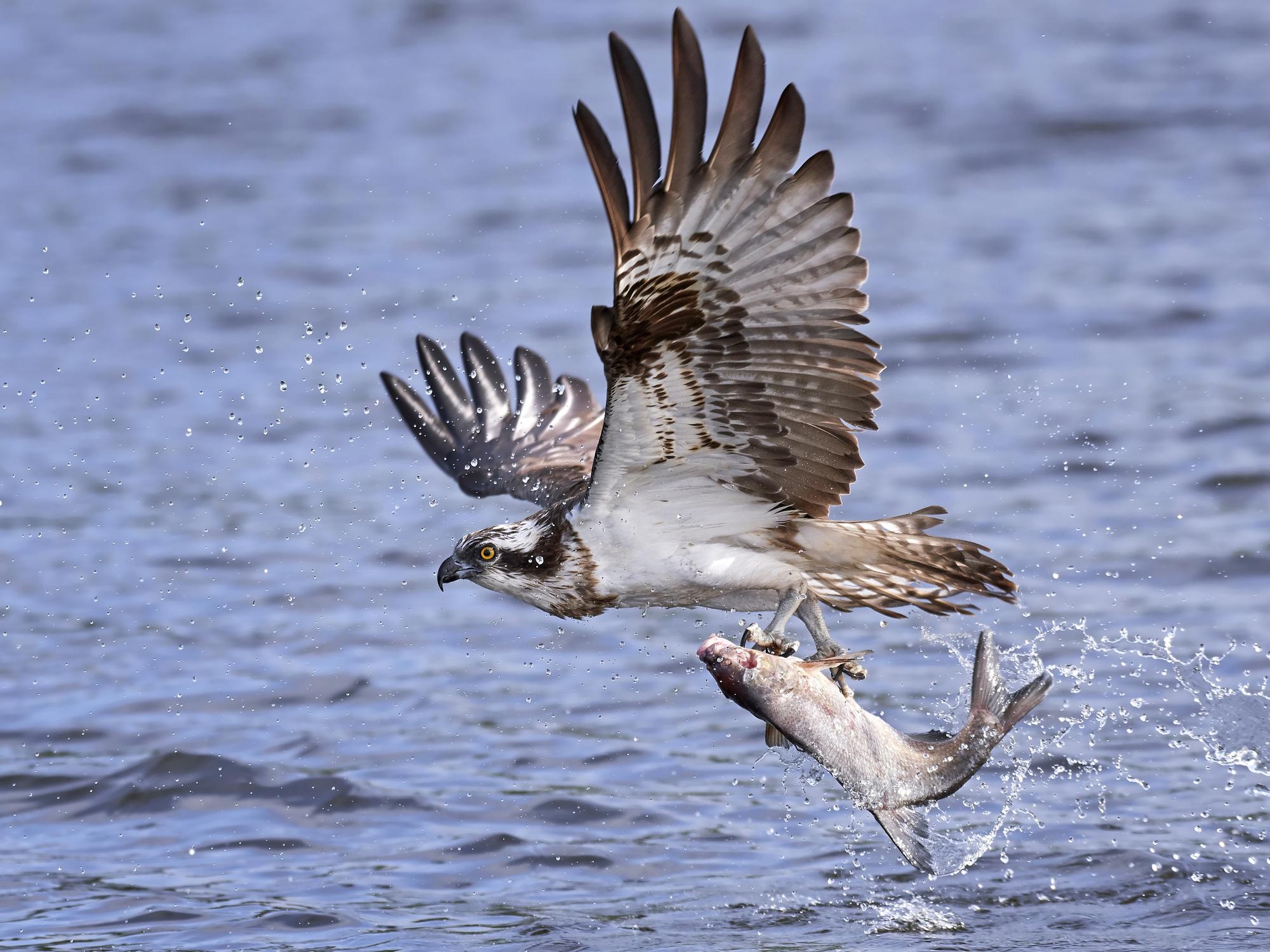 Osprey South Parde Island