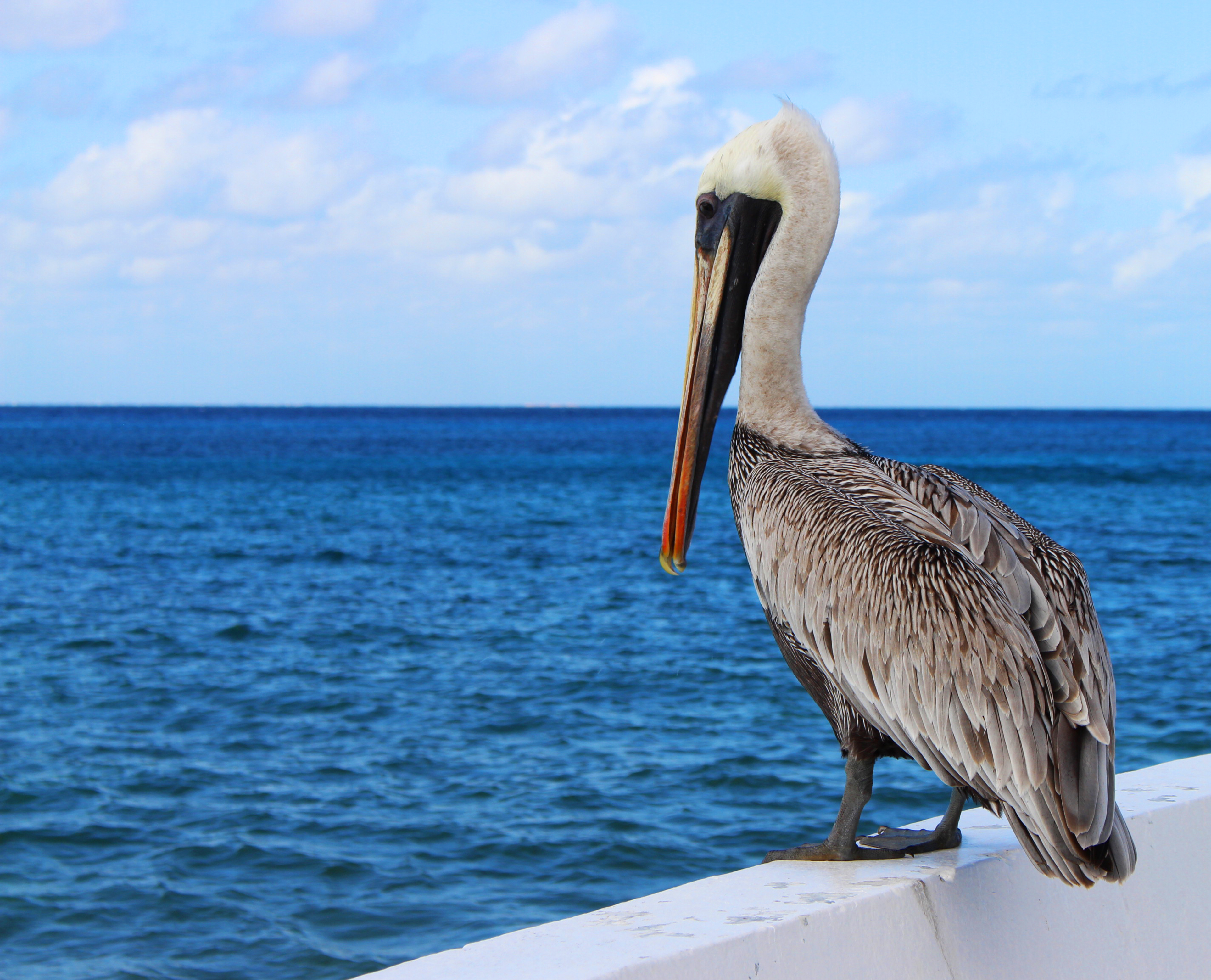 White and brown pelicans at home alo