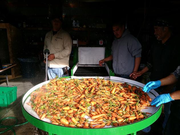 Gitigaanike Food Workers Washing Carrots