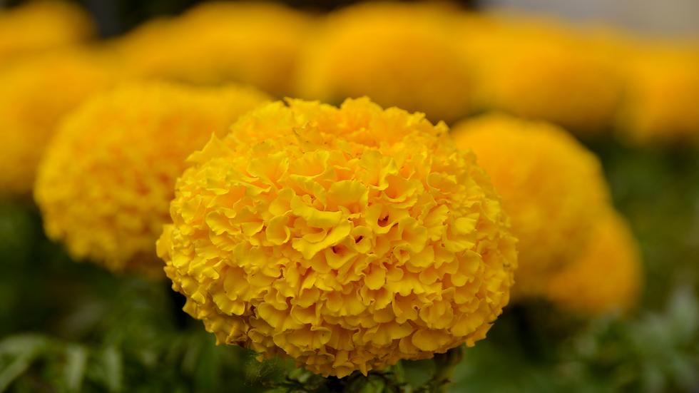 banner crisantemo.png