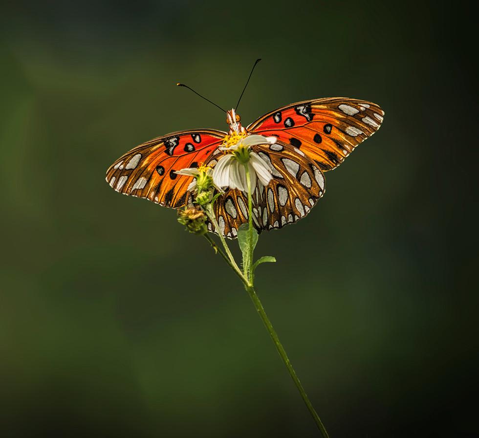 PDI - Gulf Fritillary Butterfly by Steve Haydon (10 marks)