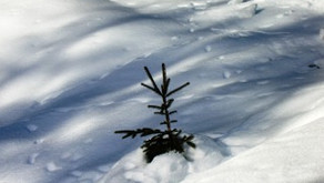Un piccolo abete si fa largo tra la neve