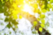 Birch leaves in the rising sun.jpg