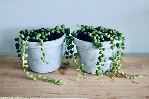 STRING OF PEARLS MINIS
