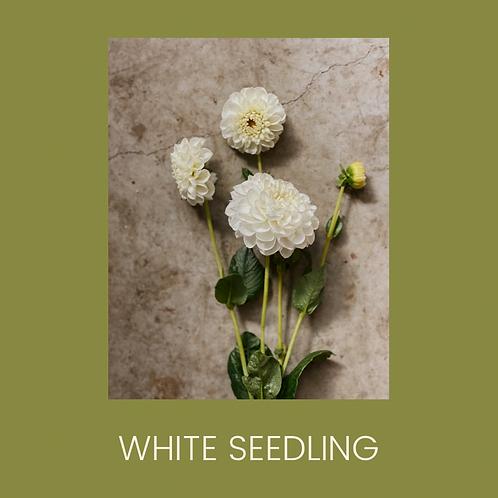 WHITE SEEDLING