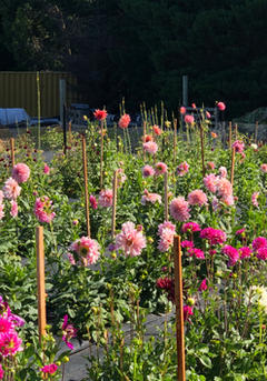 Flower farmer wanaka