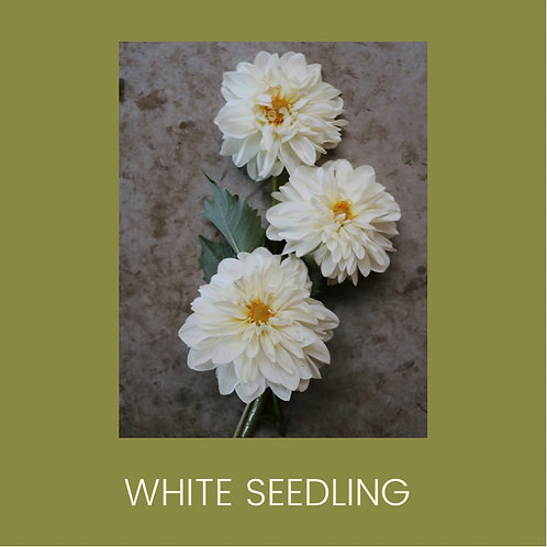 WHITE SEEDLING