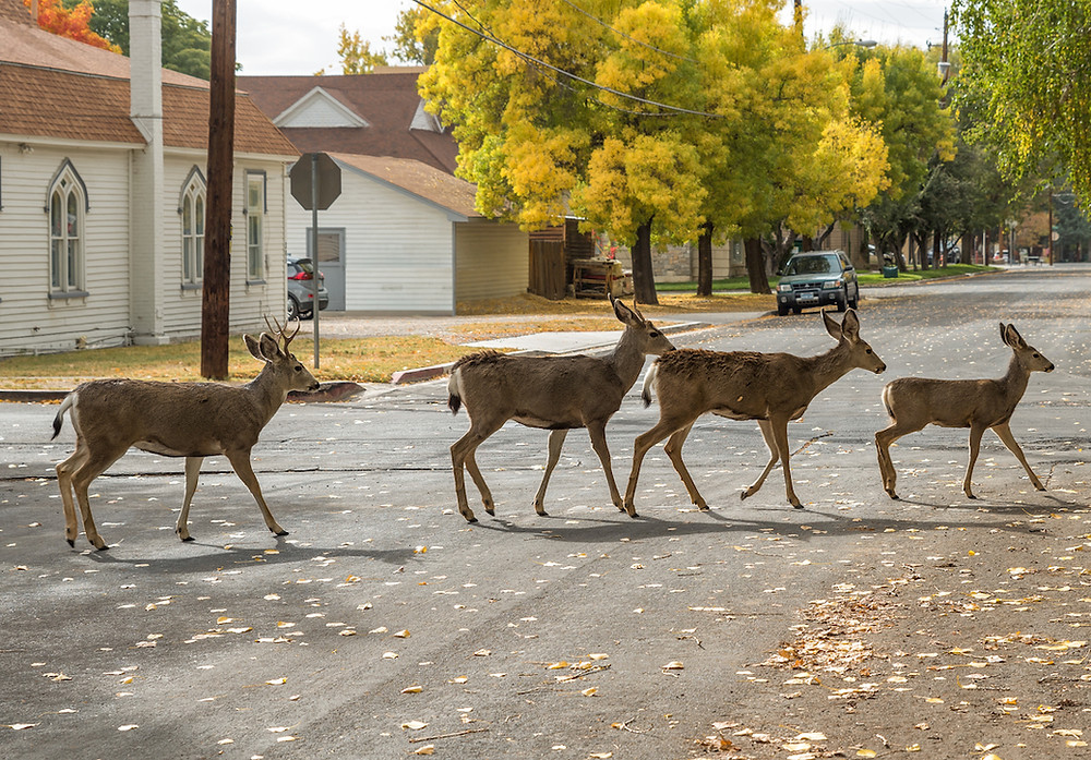 Deer on the Kit Carson Trail in Carson City Nevada