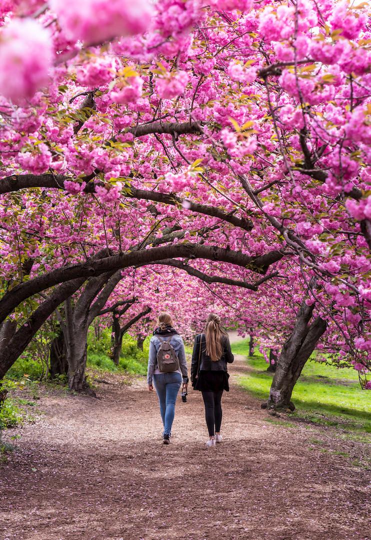 Cherry blossom central park.  Cherry Blossom NYC