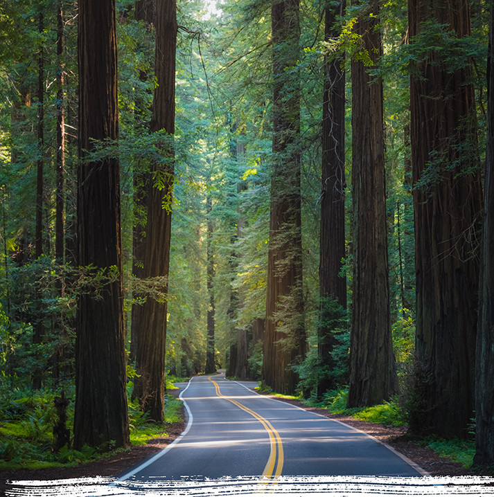 Driving through avenue of the giants