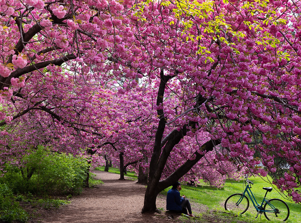 Cherry blossom NYC.  Cherry Blossom Trees Central Park