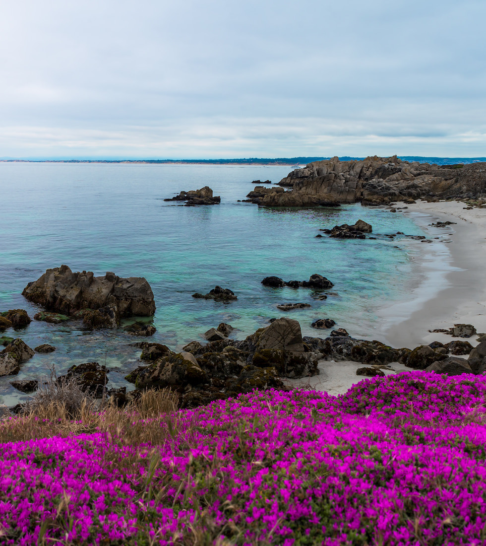 purple carpet of wildflowers at Lovers Point in Pacific Grove Monterey California