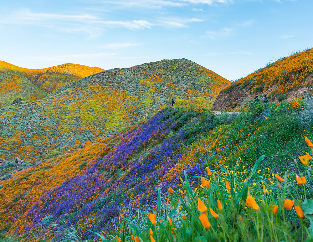 walker canyon poppy fields during the california super bloom