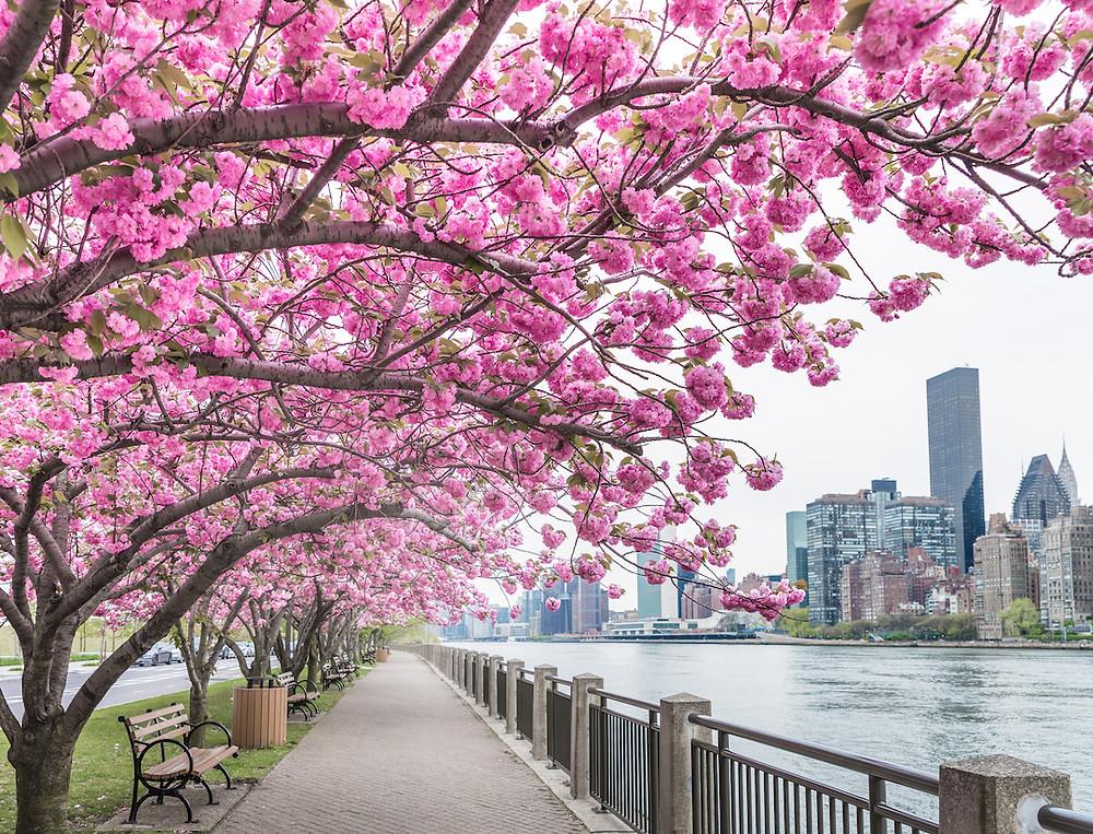 Roosevelt Island cherry blossom trees