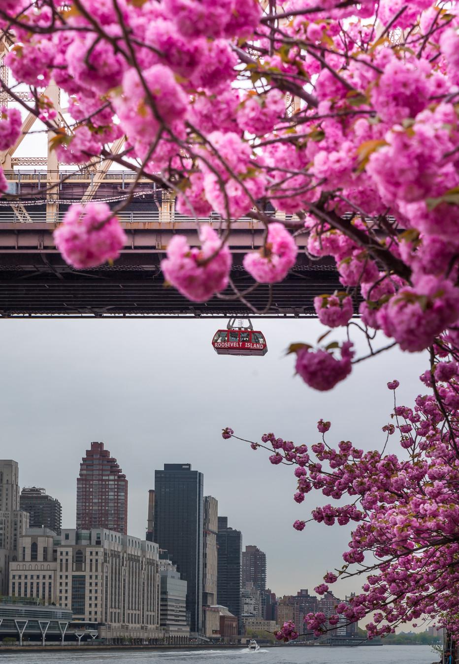 Cherry Blossom Roosevelt Island NYC