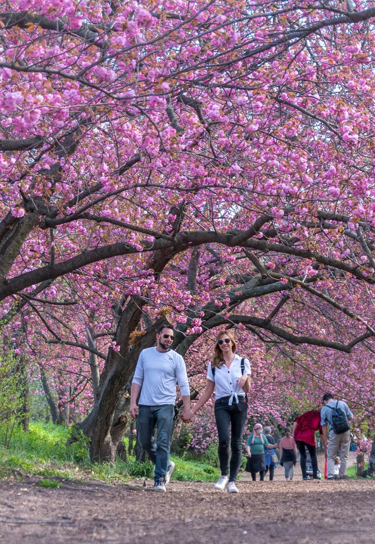 Cherry blossom NYC.  Cherry Blossom Trees Central Park