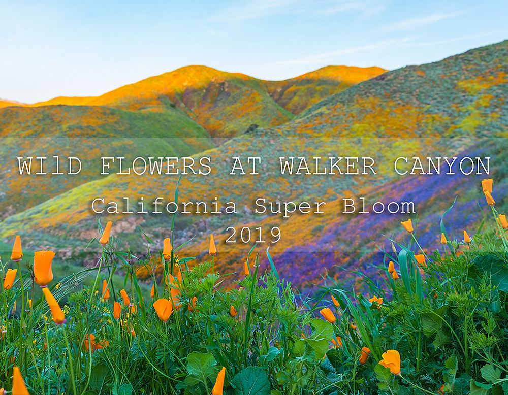 wildflowers at walker canyon lake elsinore