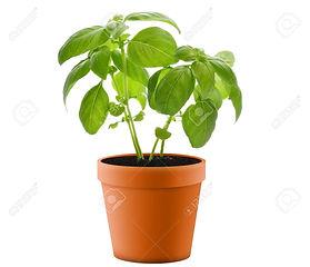 13594665-fresh-basil-plant-in-a-pot.jpg