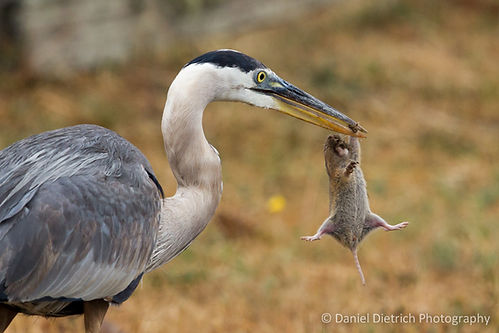 Great Blue Heron | Gopher | Point Reyes National Seashore