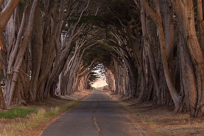 Cypress Trees, Point Reyes National Seashore