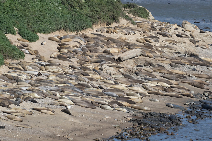Elephant Seals, Point Reyes National Seashore