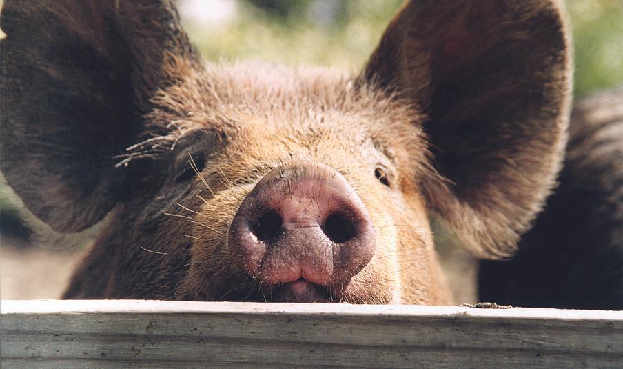 Pig Close-Up.jpg