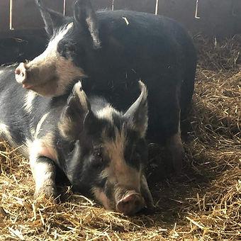 Pigs (two).jpg