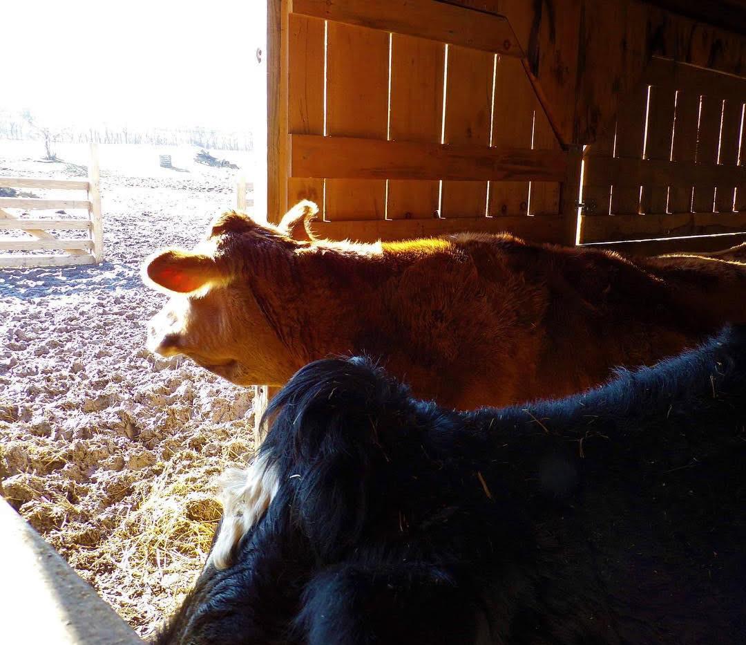 Cow Looking Through Barn Door.jpg