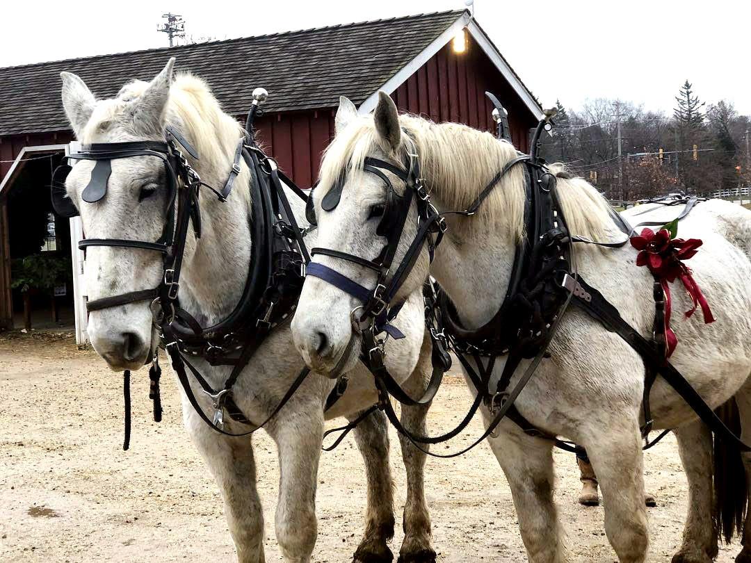 White Draft Horses.jpg