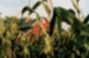 HC through Corn.jpg