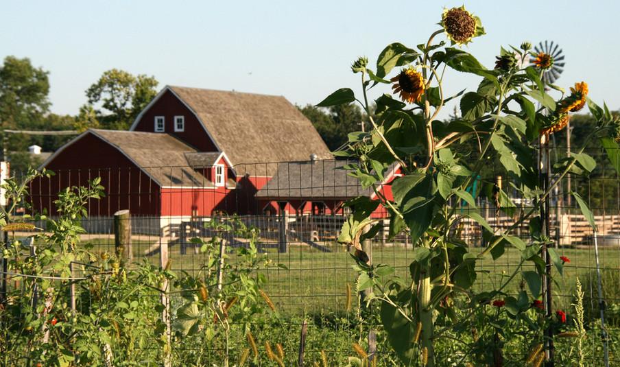 Barn Through Sunflowers.jpg