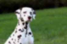 Gloriandus Dalmatians